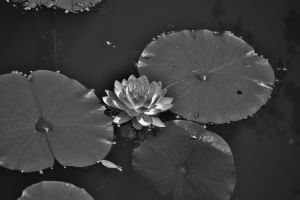Black And White Water Lily With Lily Pads. by Matthew-Beziat