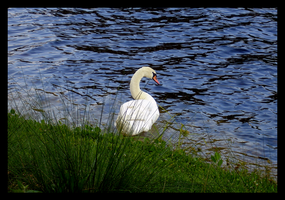 Swan on Disney waters by laurifer