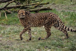 Cheetah Stock 14 by LuDa-Stock