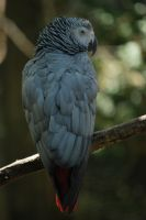 African Grey Parrot by calger459