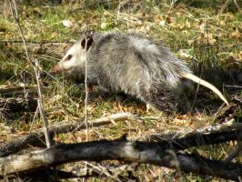 Opossum by SuicideBySafetyPin