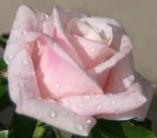 Rain Drops On Roses by silverwolf1618