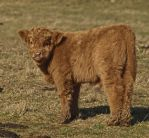 Highland baby by piglet365
