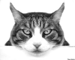 Felix the White by cat-lovers