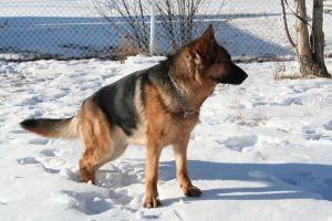 German Shepherd Stock 002 by EssenceOfPerception