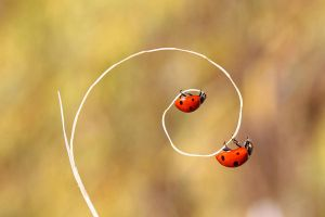 ladybugss by lisans