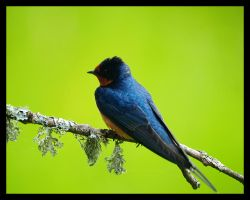 Barn Swallow At Rest by swashbuckler