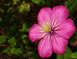Clematis by snoogaloo