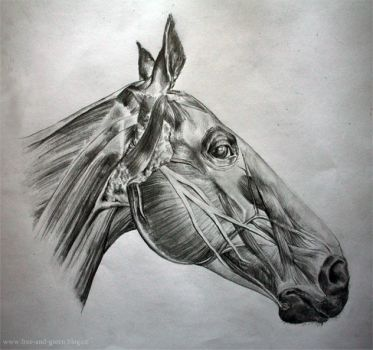 Horse anatomy by Teries-art