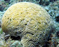 Grooved Brain Coral 2 by ScribbleSoftly