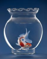 red capped goldfish by CastralePhotography