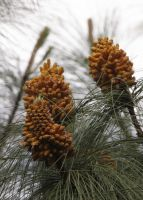Pine Cluster by creativemikey