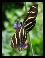 Zebra Butterfly by Life-through-Photos