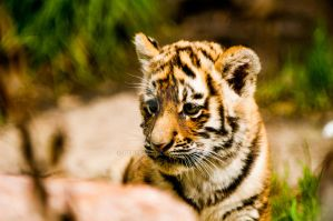 little tiger by Perseus67