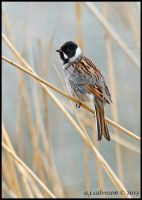 Male Reed Bunting. :) by andy-j-s