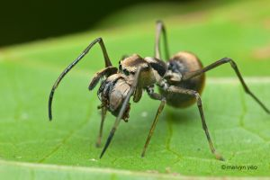 Ant mimicry by melvynyeo