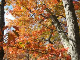 red oak canopy by crazygardener