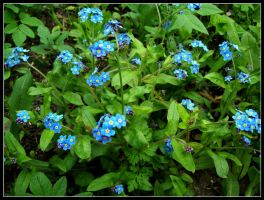 Forget-Me-Nots by beem86