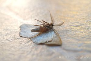 Dying Moth (3) by chantriera