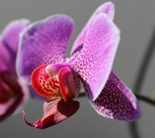 Orchide by jowal