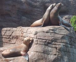 Sea Lion Stock 1 by Lovely-DreamCatcher