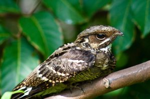 Long tailed nightjar 5 by Jastan