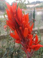 Red Canna by mossagateturtle