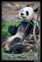 Giant Panda by Seb-Photos