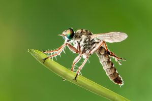 Robber Fly by Hussain-AlMousa