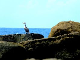 Kings Beach Cormorant by AfroDitee