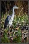 Young Heron by JakeSpain