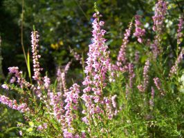 pink loveliness by Nusio21