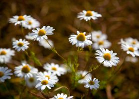 Daisies by scotto