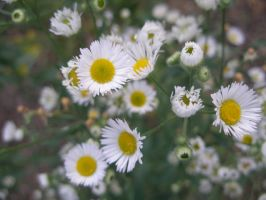 Miniature Daisies 3 by lampshaded-stock