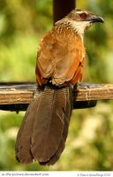 White-browed Coucal by In-the-picture