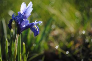 Iris in Bloom by louiecablouie