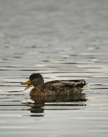 Quackers by JackMcIntyre