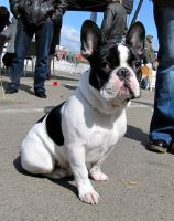 French Bulldog by natiawarner