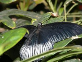 Black and Blue butterfly by AponiRainbow