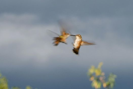 clash of the rufous by fergusand