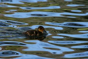 Duckling by Enigma784
