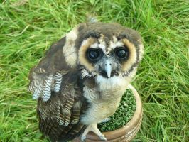Baby Eurasian Wood Owl by OsmocisingMonkey