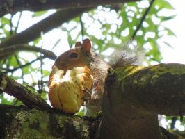 Squirrel eating a picnic lunch! by Bushrch