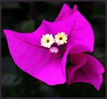 BOUGANVILLA 2 by THOM-B-FOTO