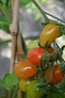 Tomatoes by Newt471