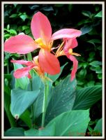 Canna Lily by katrinaanne