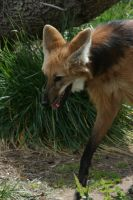 Maned Wolf 002 by FoxWolfPhoto