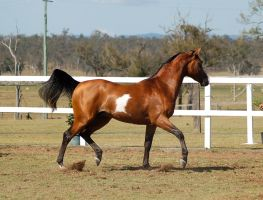 GE arab pinto trot side view by Chunga-Stock