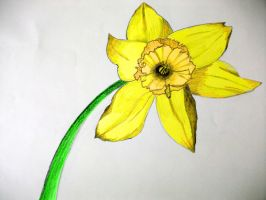 Daffodill In Colour (2010) by astateofconfusion