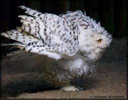 Fluffy snowy owl by Lougaria